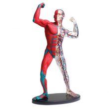 Anatomiamalli - lihakset ja luuranko