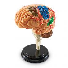 Anatomiamalli - Aivot